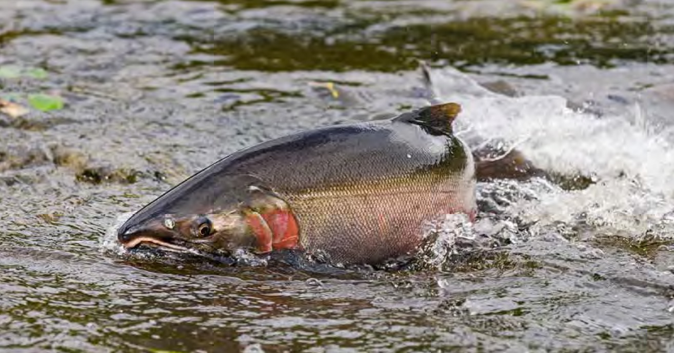How are salmon limits determined?