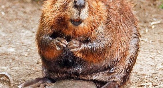 Beavers and Climate Change